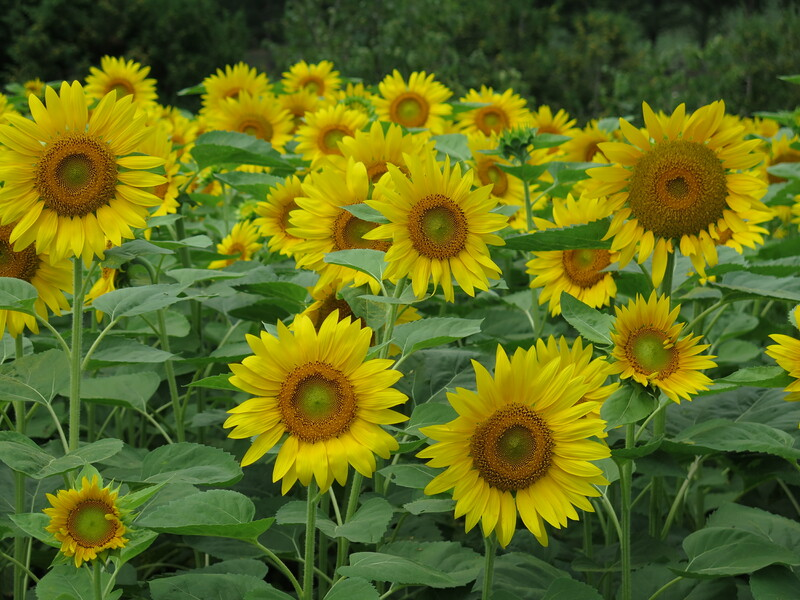 2015-08-15.05.Sunflowers.jpg