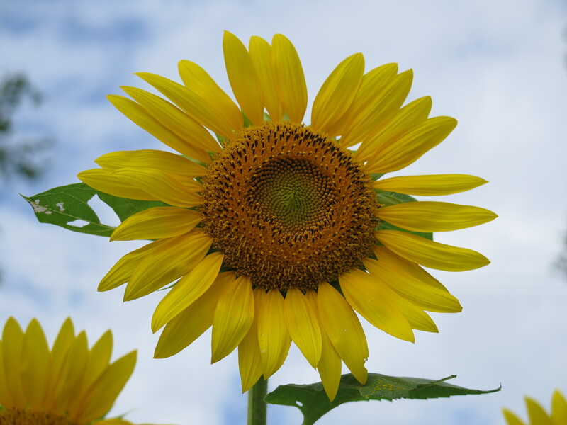 2015-08-15.06.Sunflower.jpg